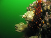 Giant barnacles catch food passing by in the current
