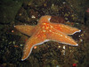 The Knuckle: Leather star with highly extruded respiratory sacs. Zoom in close or view this photo XL to see individual sacs.