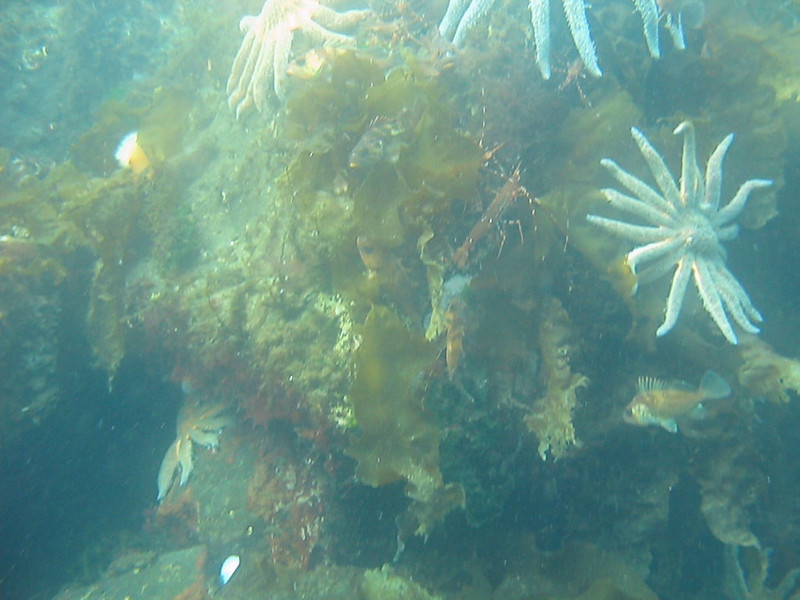 A mixture of adult and juvenile Rockfish of several species cluster under the surface of the water. Shiner Perch are seen in the background occupying the top 3 feet, with Quillback, Copper, Black, and Yellowtail Rockfish under that.