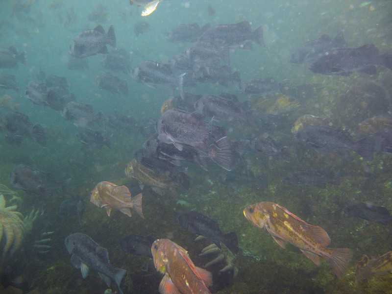 Mega-schools of Black Rockfish and Copper Rockfish just below the Shiner Perch. All acting very lethargic.