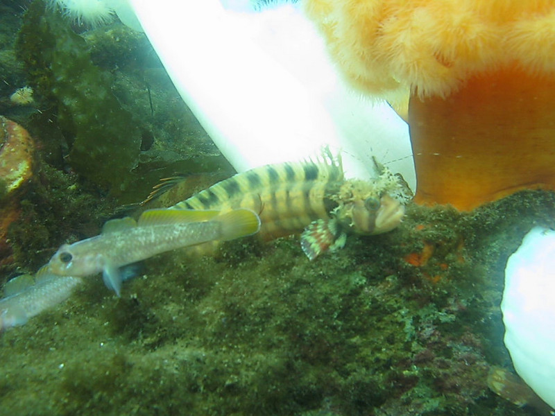 "It's rare to find a Decorated Warbonnet. They are usually hiding and we might see one once in awhile. Today I saw between 10 and 20 of them, all out in the open and ""panting"". To the left of the Warbonnet are two Blackeye Gobies - also struggling to breathe."