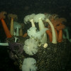 White and orange Plumose Anemones cover rock boulder structure