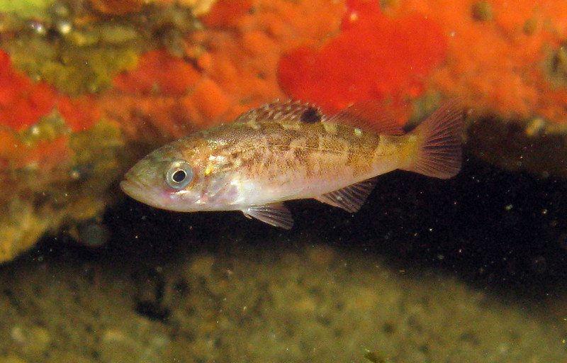 Young of Year Rockfish.