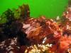 Cabezon perches on a rock reef