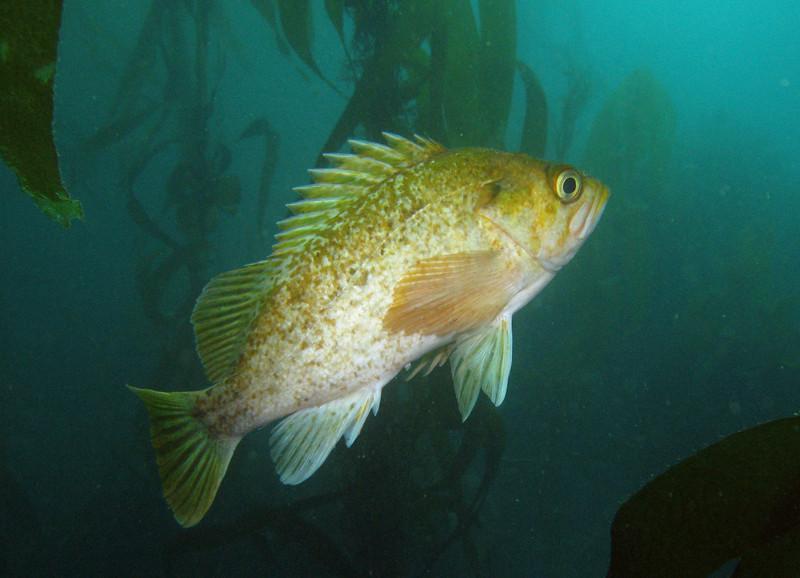 Kelp Rockfish just hangs among the strands of kelp
