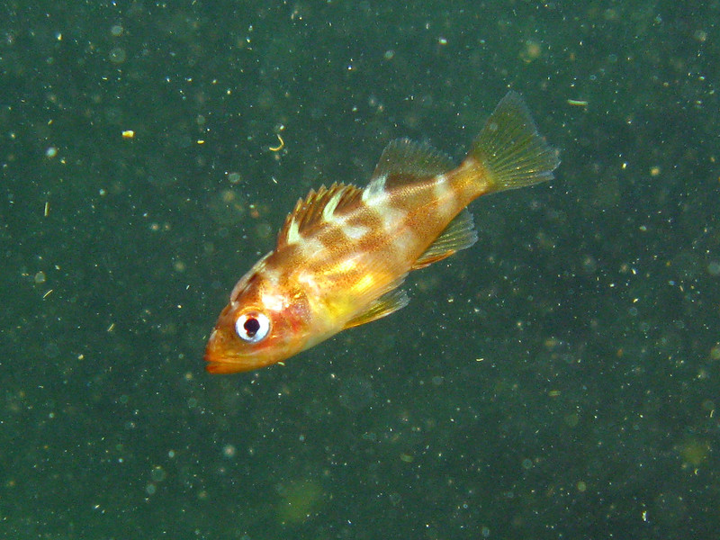 Teeny little young of year Rockfish