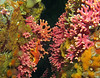 Hydrocoral clusters
