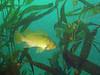 Kelp Rockfish swimming among what else? Kelp!