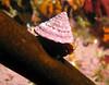 Red Turban Snail