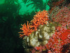 Hydrocoral clusters and strawberry anemones perched with a background of green giant kelp