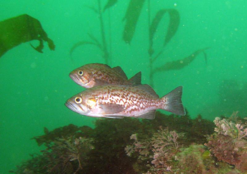 Two juvenile Blue Rockfish
