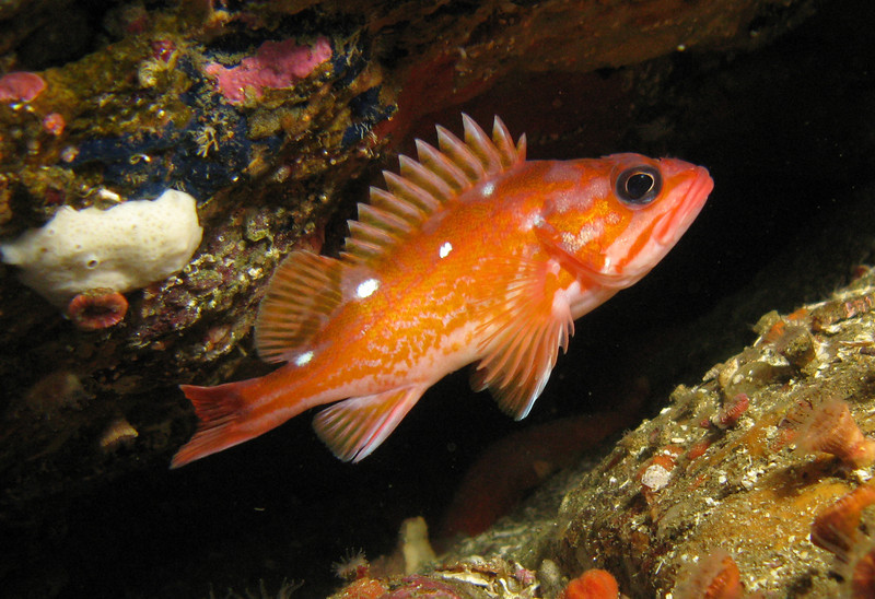 Rosy Rockfish hangs out around 90 feet.