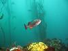 Lone Blue Rockfish