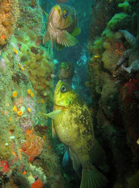Kelp Rockfish hang in a crack.