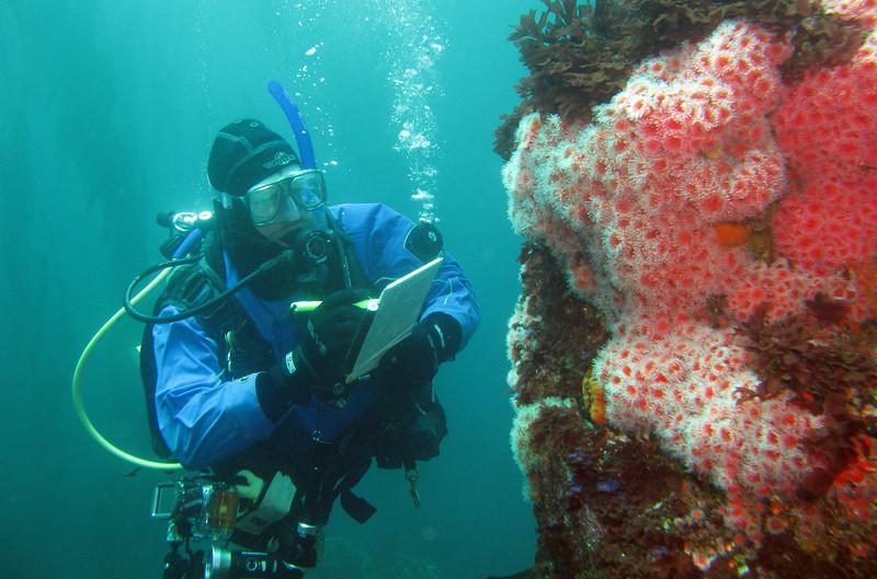 Keith Rootsaert surveys a clump of Strawberry Anemones