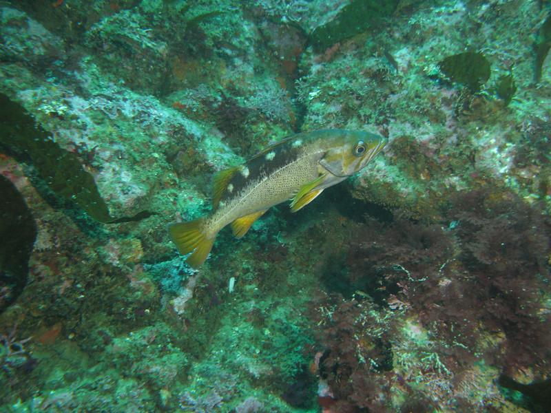 Yellowtail? Monterey - Carmel Bay, Pescadero Washrock