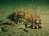 Three Rowed Sea Cucumber?