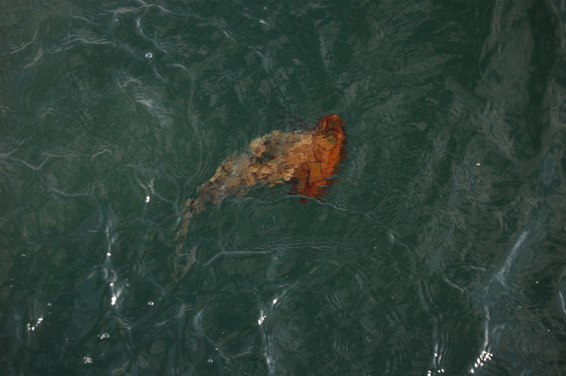 Sea Nettle jellies