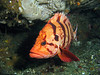 Tiger Rockfish peers out of its safe hiding hole