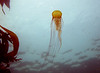 A Brown Sea Nettle undulates gracefully near the surface