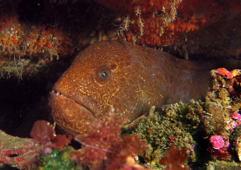 A smaller wolf eel hides under a rock
