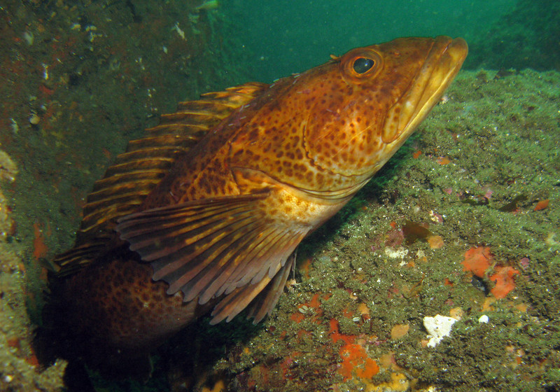 An uncommonly colored Ling Cod.