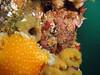 A Red Irish Lord looks over an Orange Peel Nudibranch