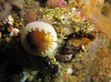 A male Scalyhead Sculpin sits disguised inside an empty Giant Barnacle shell, with a snail on top.