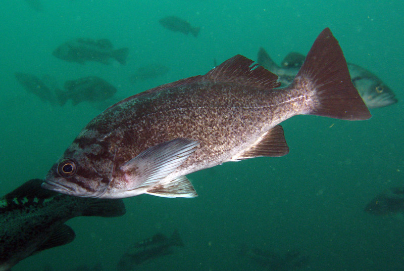 Blue Rockfish! These had been absent the last few years of our survey, so it was nice to see them again.