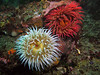 Fish Eating Anemones with various colored tentacles.