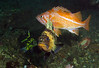 What a rare treat!! Several fairly rare-to-see rockfish all in one shot! China Rockfish (in background), Canary Rockfish (orange one on top) and Quillback Rockfish all together.