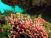 Clusters of Pink Hydrocoral add a colorful splash to the surroundings