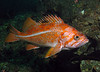 Canary Rockfish - colorful and a treat to see.