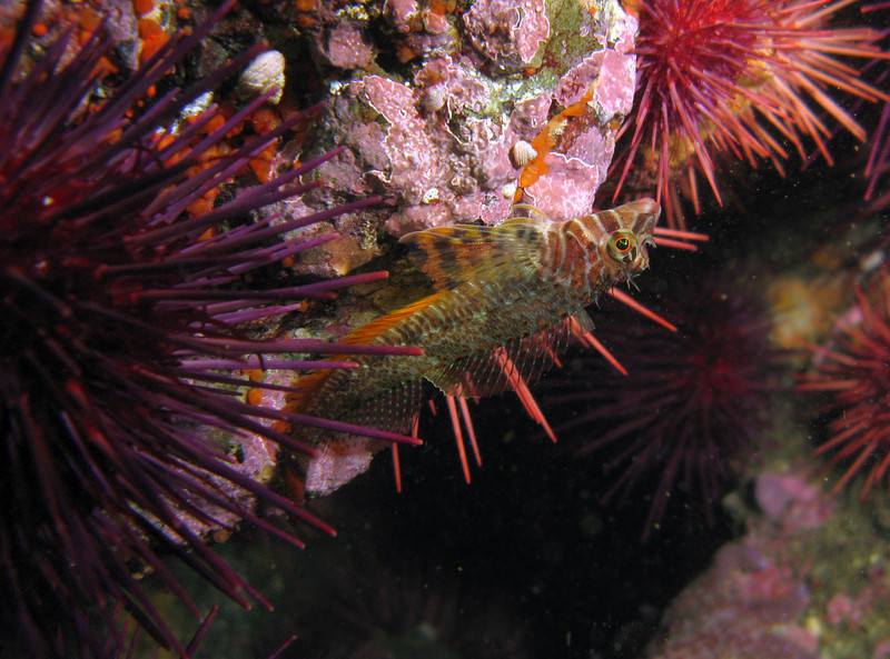 Colorful Longfin Sculpin hangs upside down among the pink coralline algae and red urchin covered rocks.