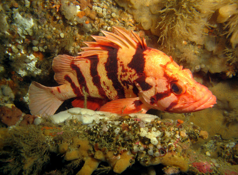 Tiger Rockfish - must be really old - they can live to something like 80 years old.