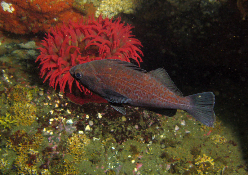 Another what I suspect is a juvenile turning adult Blue Rockfish