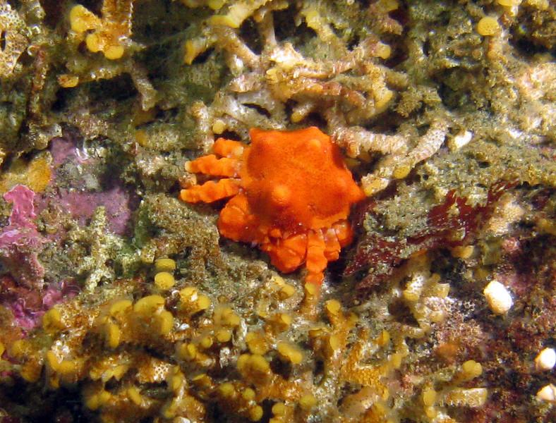 Little teeny juvenile Puget Sound King Crab