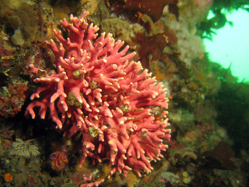 Cluster of Pink hydrocoral