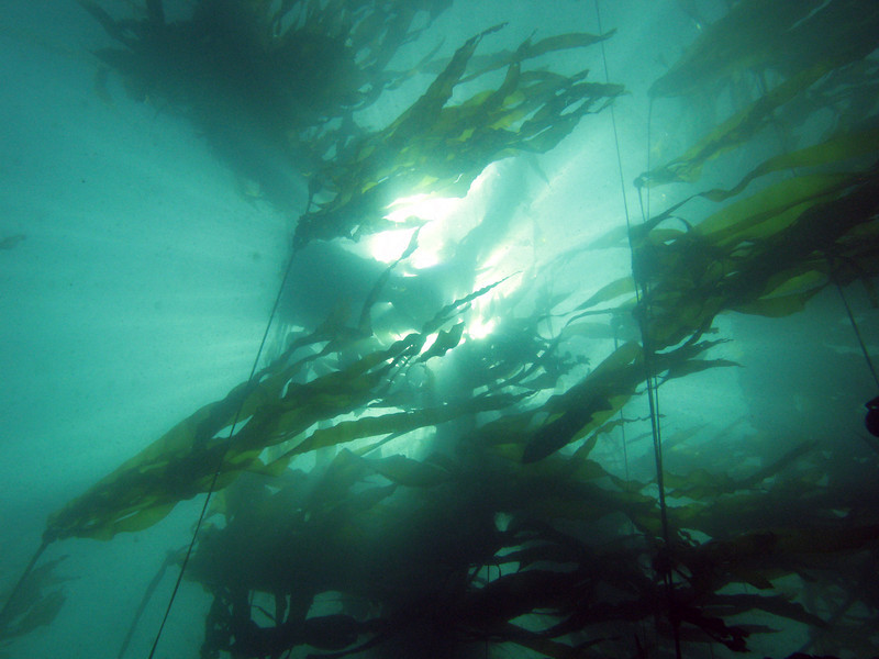 Looking up into the bull kelp