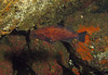 Small rockfish hiding back in a dark cave - about 15cm. I suspect it's a juvenile-turning-adult Blue Rockfish.