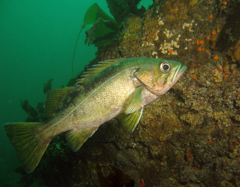 The one and only Yellowtail Rockfish I saw the entire week.