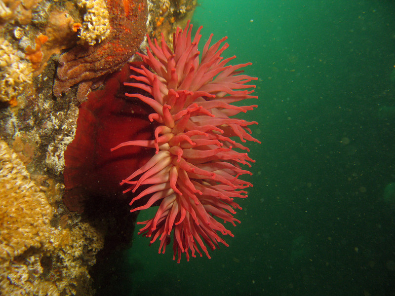Fish Eating Anemone