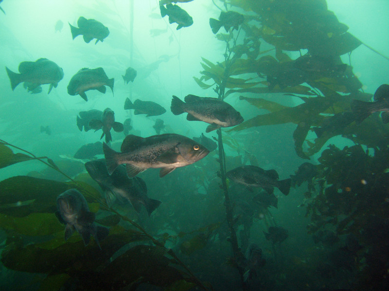 Black Rockfish, the most common rockfish in the sanctuary, lazily swim amongst the kelp.