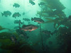 Black Rockfish, the most common rockfish in the sanctuary, lazily swim amongst the kelp.