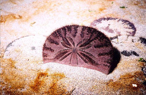 Eccentric Sand Dollar, Tolmie State Park, WA