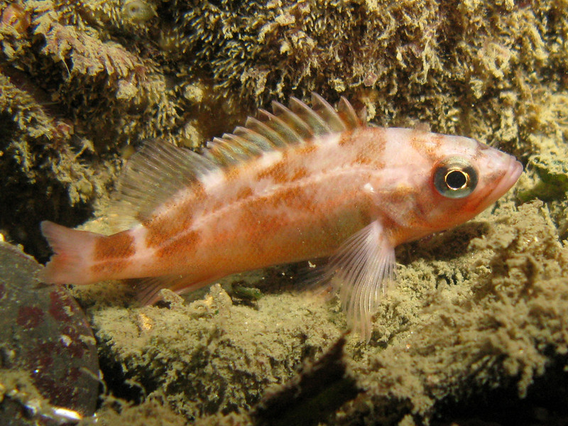 Unknown Young of Year Rockfish, Lopez Island, WA