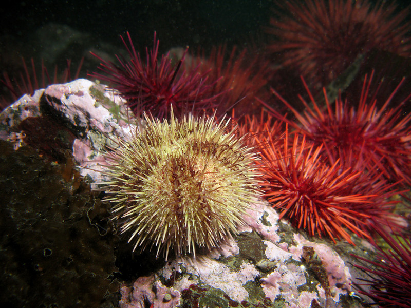 Green and Red Urchins, Lopez Island, WA