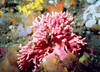Pink Hydrocoral, Neah Bay, WA