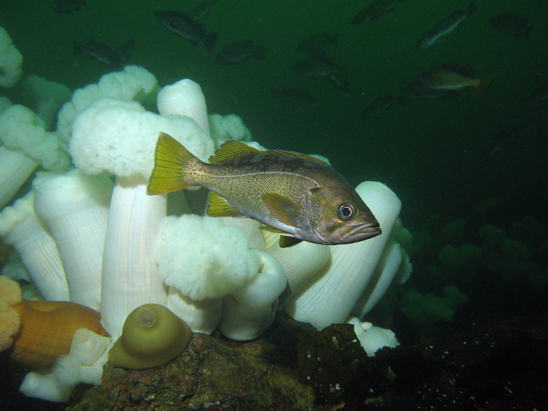 Yellowtail Rockfish with Plumose Anemones, Barkley Sound, BC