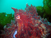 Giant Pacific Octopus, Hood Canal, WA